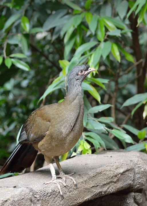 chaco chachalaca, bird, exotic