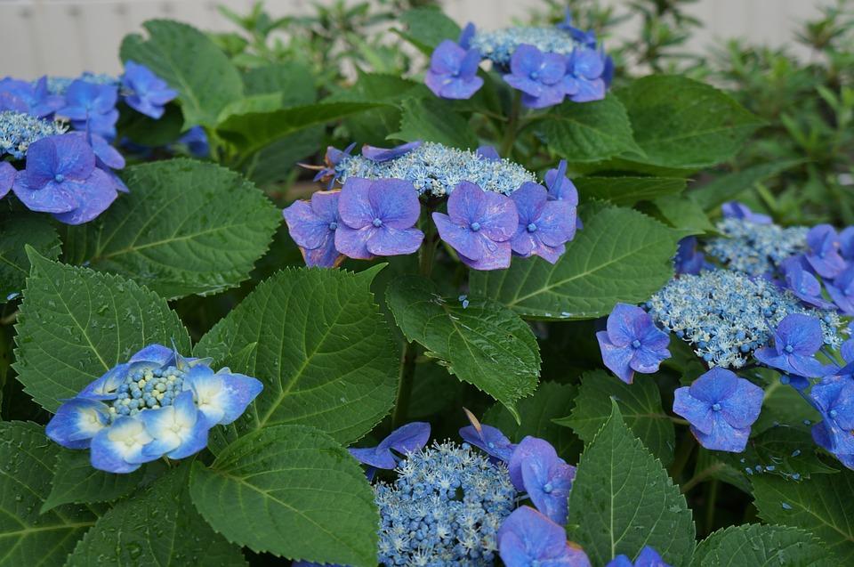 hydrangea, flowers, nature