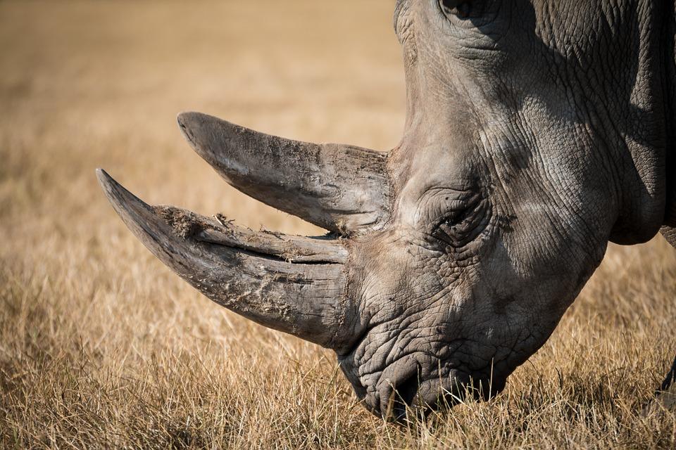 rhinoceros, rhino, wildlife