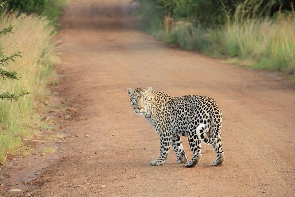 leopard, safari, wildcat