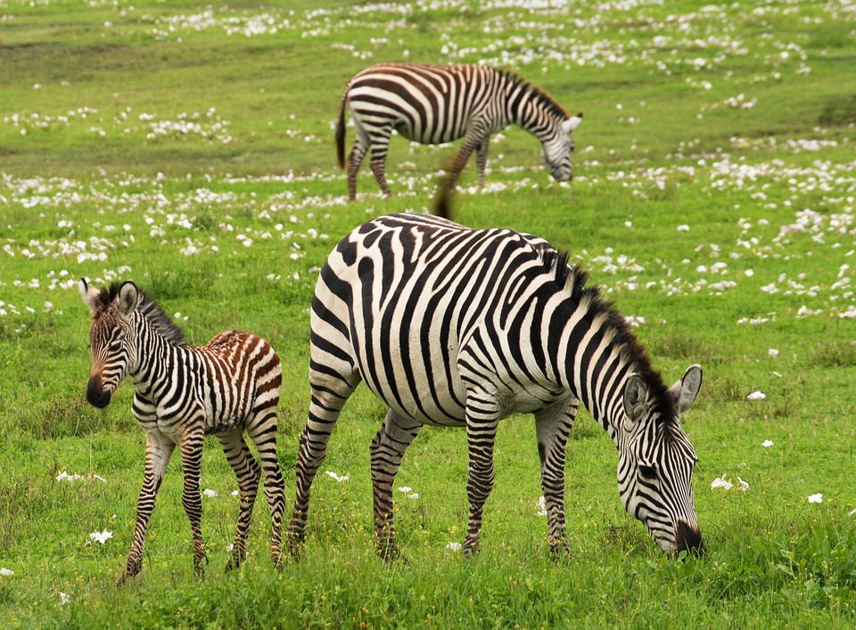 baby zebra, safari, serengeti