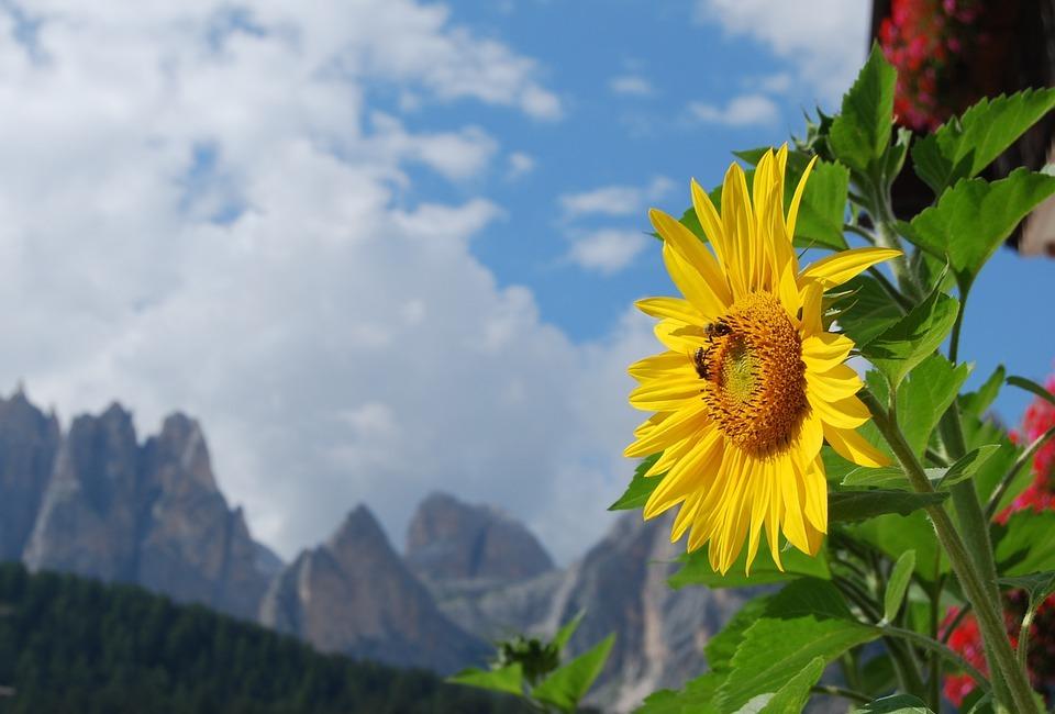 sunflower, alps, dolomites