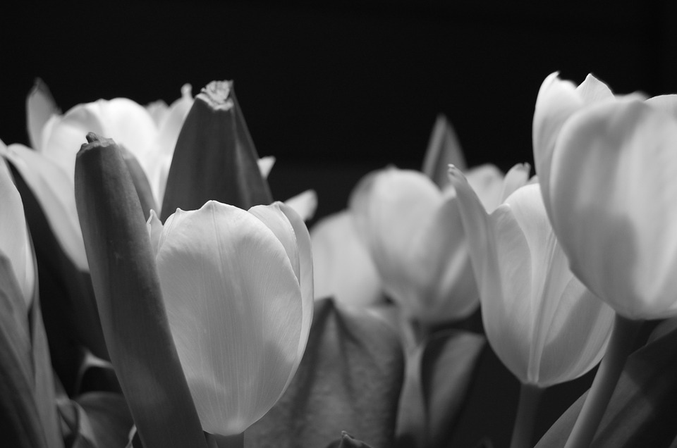 tulip, flower, night