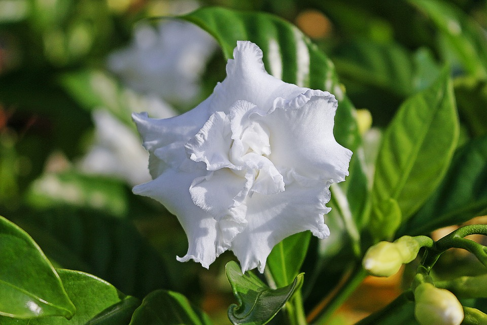 gardenia, white flower, gardenia jasminoides