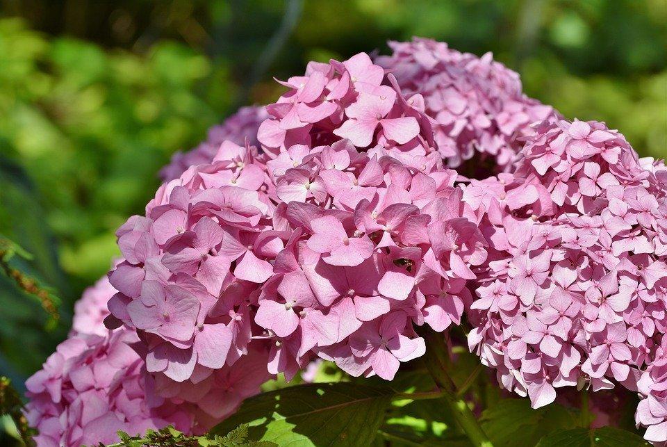 hydrangea, hydrangea flower, greenhouse hydrangea