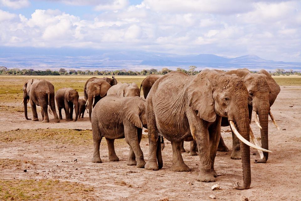 elephants, africa, amboseli
