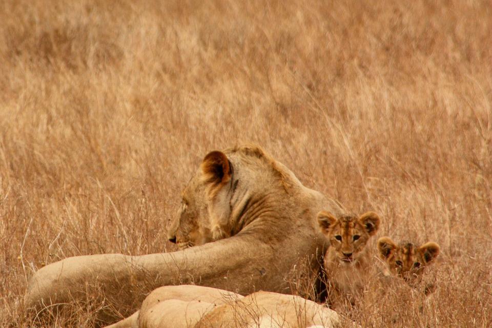 lion, baby, animal