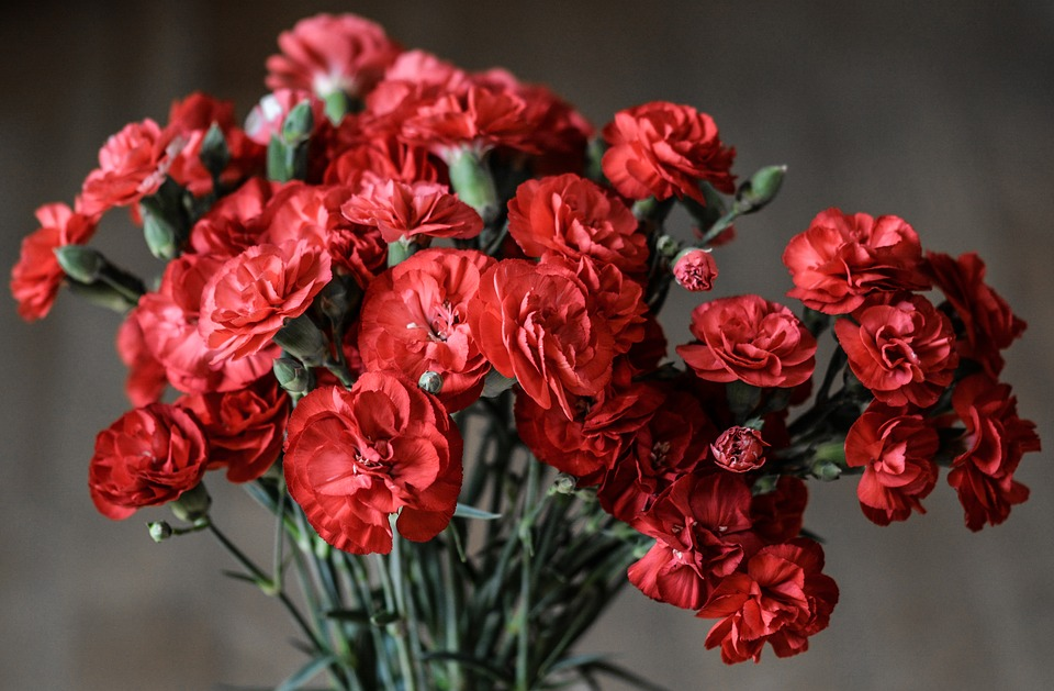 carnation, flowers, red