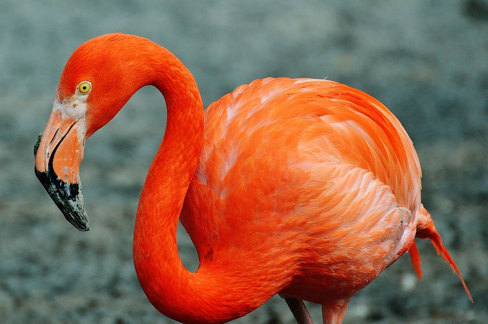 flamingo, bird, colorful
