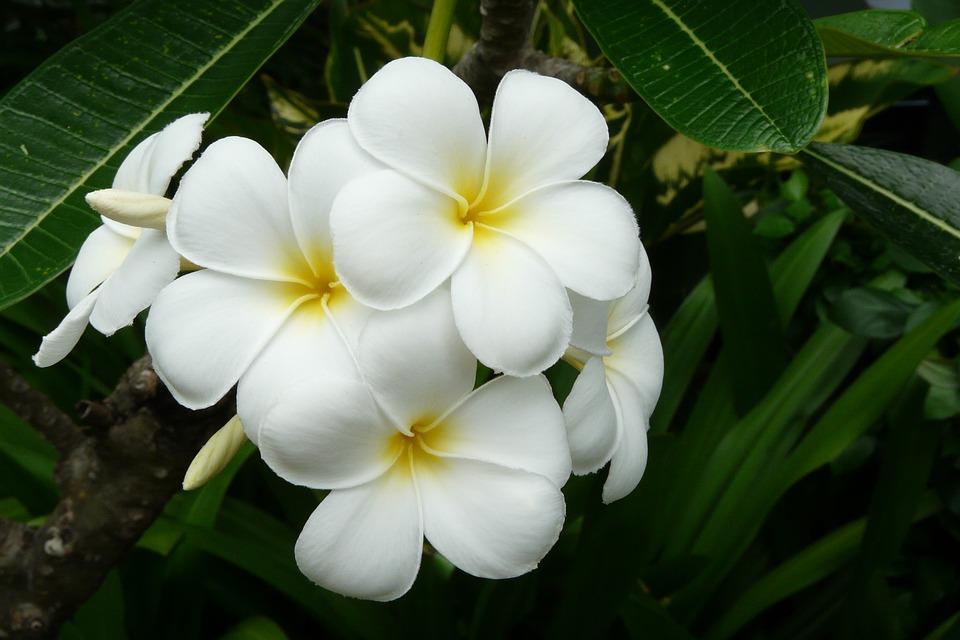 frangipani, thailand, exotic flower