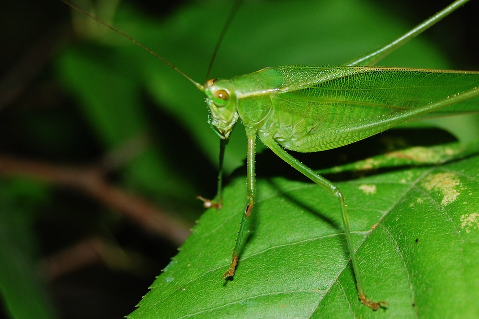 cricket, grasshopper, locust