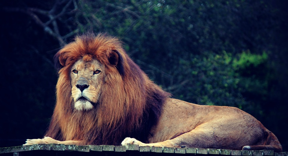 lion, king, jungle