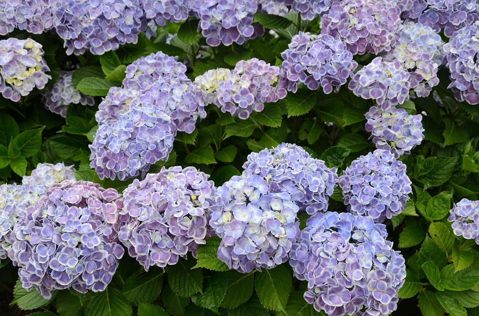 hydrangea, flower garden