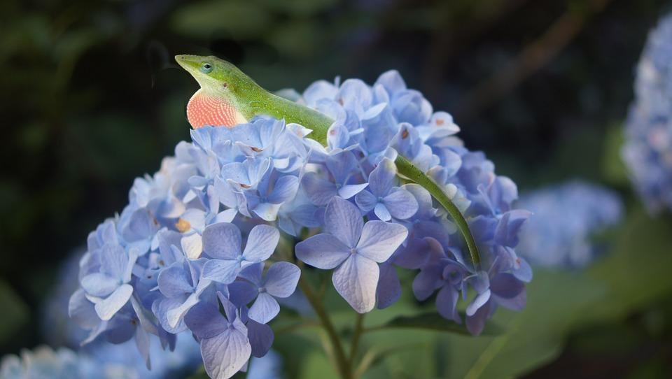 hydrangea, lizard, flower