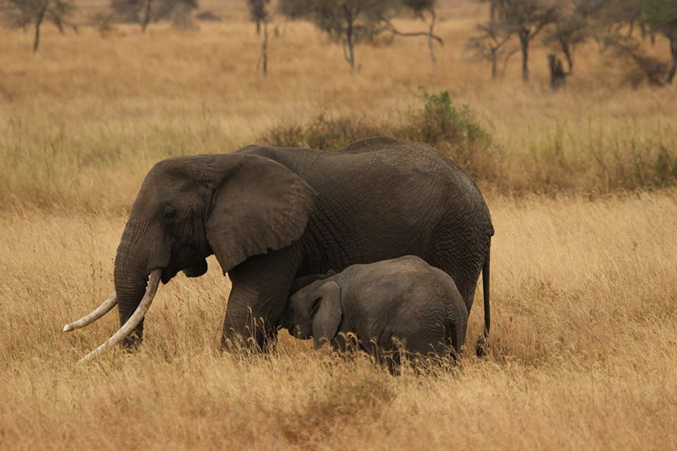elephant baby, elephant family, serengeti national park