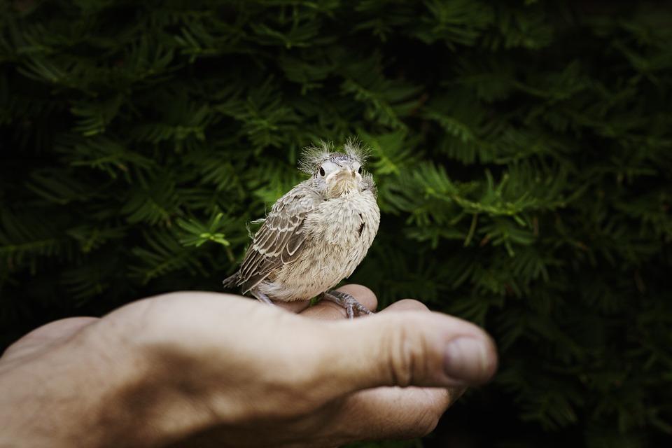 hand, baby cardinal, cardinal