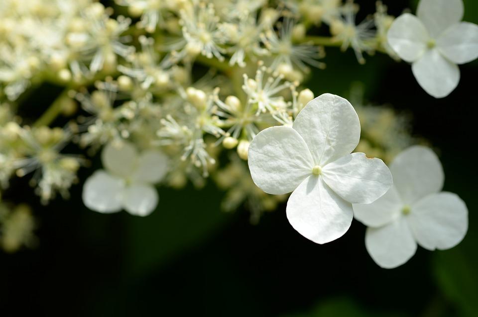 hydrangea, white, macro